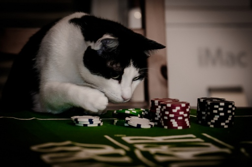 gambling cat